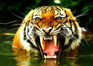 Gueule du Tigre