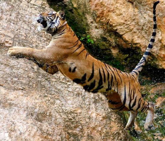 Tigre bondissant