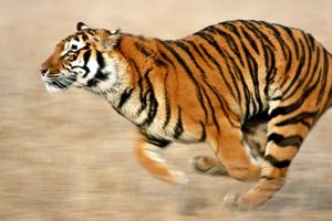 Tigre en pleine course